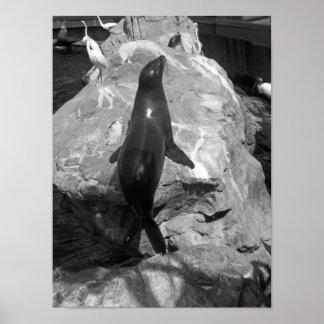 De zwart-witte Zeeleeuw van de Foto Poster