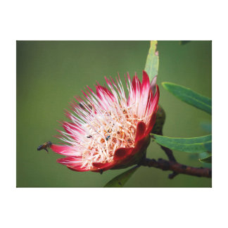 Drakensberg Sugarbush (Protea Dracomontana) Canvas Afdruk