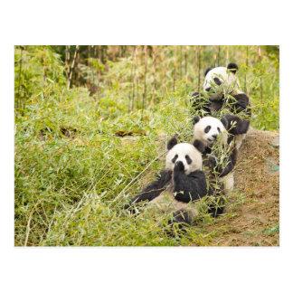 Drie het smakken van Panda werpt Personaliseerbare Briefkaart