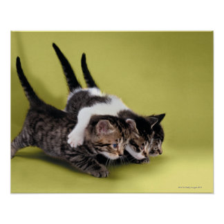Drie katjes die elkaar koesteren poster