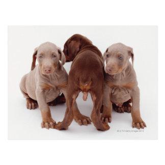 Drie pinscher puppy Doberman Briefkaart