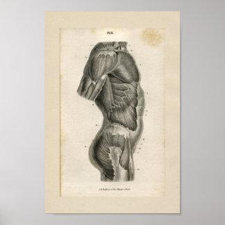 Druk van de Anatomie van de Spieren van het torso Poster