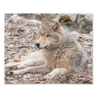 Druk van de Fotografie van de Wolf van het hout de Foto