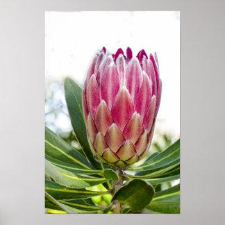 Druk van het Poster van Protea van de koning de