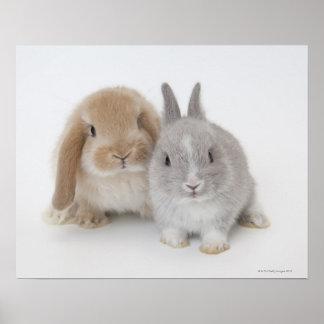 Dwerg twee Netherland en Holland snoeien konijntje Poster