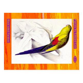 Edward Lear. Parakeet. met zwarte staart Briefkaart