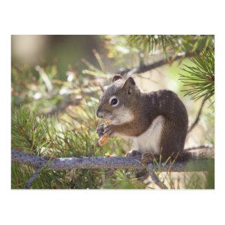 Eekhoorn die een denneappel 2 eten briefkaart