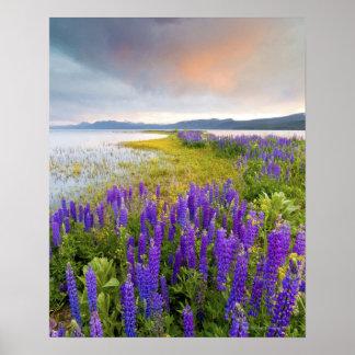 Een gebied van wildflowers Lupine op de Kust van h Poster