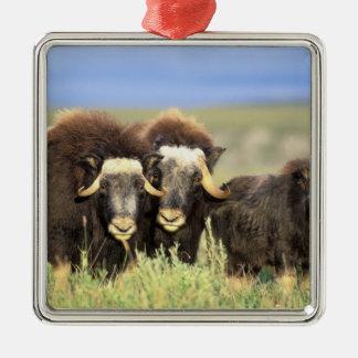Een groep muskoxen doorbladert op wilgenstruiken zilverkleurig vierkant ornament