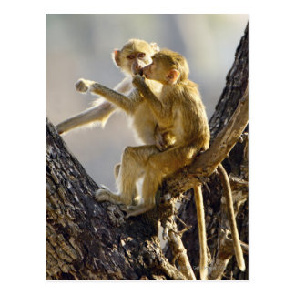 Een jonge Gele baviaan (cynocephalus Papio) Briefkaart