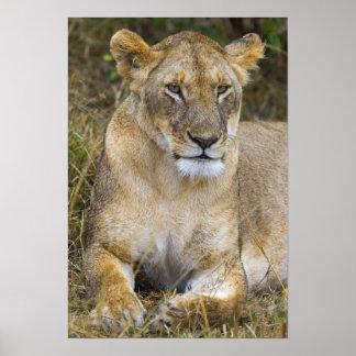 Een leeuw die het hoge gras van Maasai zitten Poster