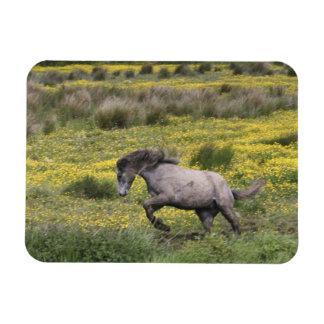 Een paard die op een gebied van gele wildflowers l magneet
