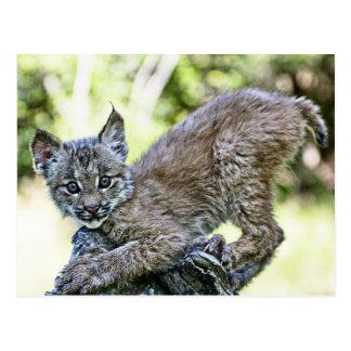 Een speels Canadees Katje van de Lynx Briefkaart