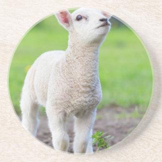 Één wit pasgeboren lam die zich in groen gras zandsteen onderzetter