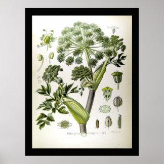 Engelwortel - Wetenschappelijke Illustraties -1897 Poster