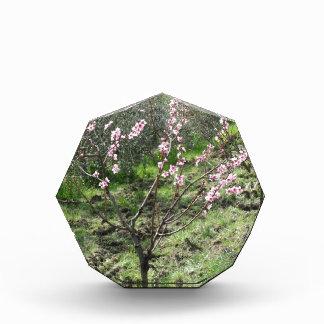 Enige perzikboom in bloesem. Toscanië, Italië Acryl Prijs