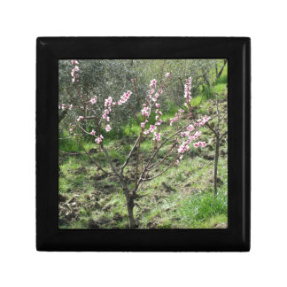 Enige perzikboom in bloesem. Toscanië, Italië Decoratiedoosje