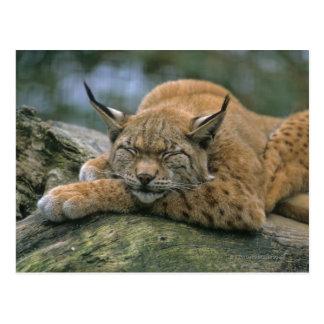 Europ�_ischer Luchs, Eurasischer Luchs (Lynx Briefkaart