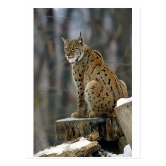Europees-Aziatische Lynx (de lynx van de Lynx) 3 Briefkaart