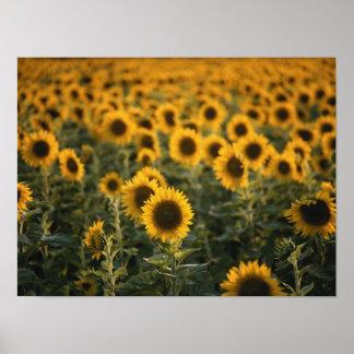 Frankrijk, Vaucluse, zonnebloemengebied Poster