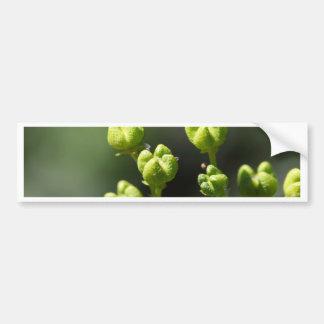 Fruit van gemeenschappelijk rue (Ruta graveolens) Bumpersticker