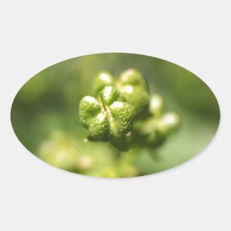 Fruit van gemeenschappelijk rue (Ruta graveolens) Ovale Sticker