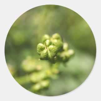 Fruit van gemeenschappelijk rue (Ruta graveolens) Ronde Sticker