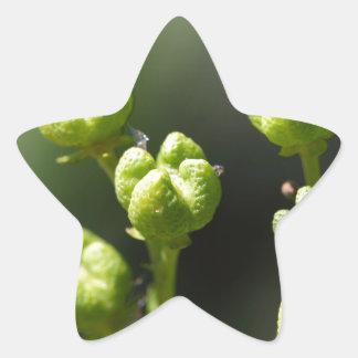 Fruit van gemeenschappelijk rue (Ruta graveolens) Ster Sticker