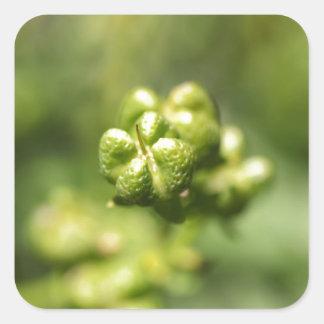 Fruit van gemeenschappelijk rue (Ruta graveolens) Vierkante Sticker