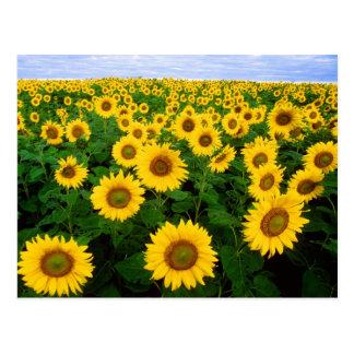 Gebied van het Briefkaart van Zonnebloemen