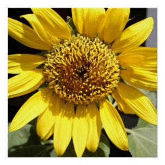 Gele bloemblaadjes van een grote zonnebloem perfect poster