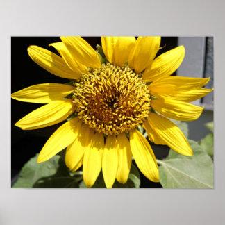 Gele bloemblaadjes van een grote zonnebloem poster