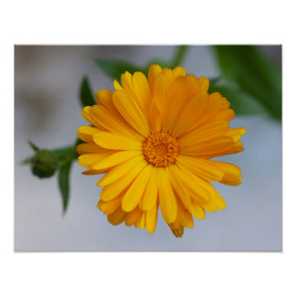 Gele Gerbera Daisy Wildflower Poster
