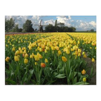 Gele Tulpen op een Gebied Holland Briefkaart