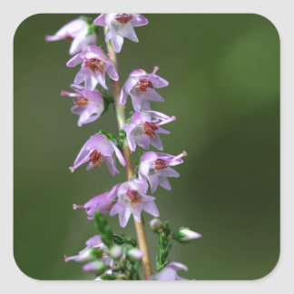 Gemeenschappelijke Heide (vulgaris Calluna) Vierkante Sticker