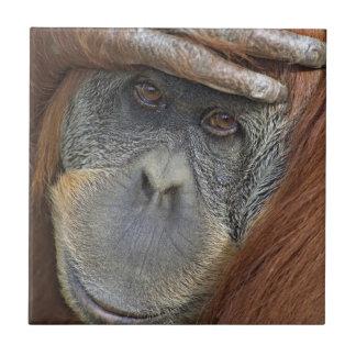 Gevangen vrouwelijke Orangoetan Sumatran Tegeltje