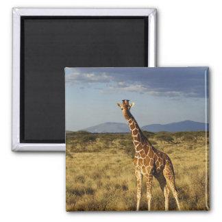 Giraf met een netvormig patroon, camelopardalis 2  magneet