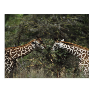 Giraffen die op de Tak van de Acacia, Afrika Briefkaart