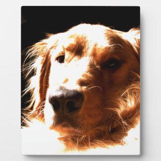 Golden retriever in Zonlicht Fotoplaat