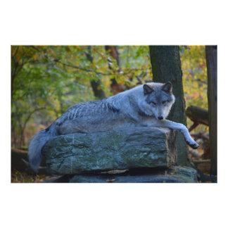 Grijze Wolf die in de Daling rusten Foto Afdruk