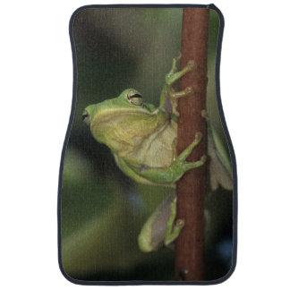 Groene Treefrog, cinerea Hyla, volwassen op geel Automat