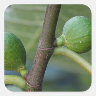 Groene vruchten van een gemeenschappelijke vierkante sticker