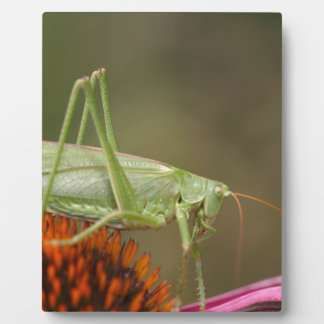 Grote Groene Bush-Veenmol (viridissima Tettigonia) Fotoplaten