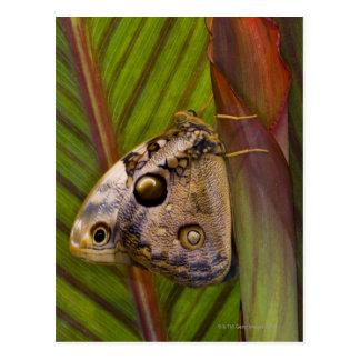 Grote jonge uilVlinder (tamarindi Opsiphanes) Briefkaart