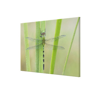 Grote Pondhawk, volwassen vesiculosa Erythemis, Canvas Print