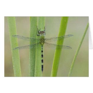 Grote Pondhawk, volwassen vesiculosa Erythemis, Wenskaart