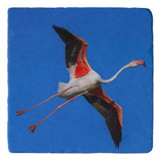 Grotere flamingo, phoenicopterusroseus trivet