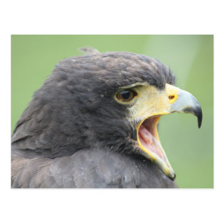 Harris Hawk Briefkaart