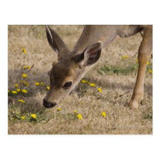 Herten die met zwarte staart (hemionus Odocoileus) Briefkaart