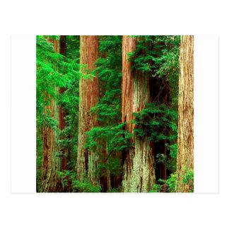 Het bos Oude Park van de Californische sequoia van Briefkaart